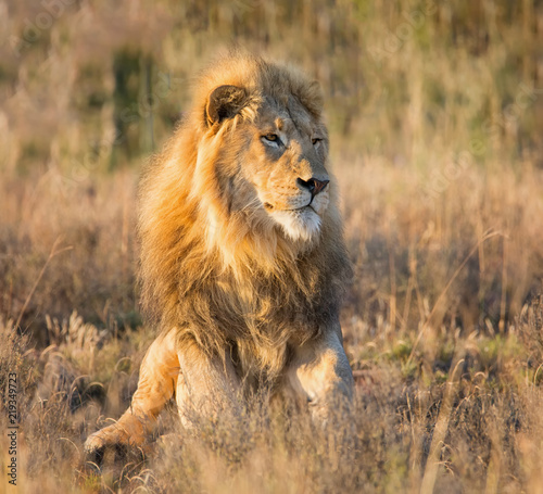 Foto op Plexiglas Leeuw Male Lion At Sunrise