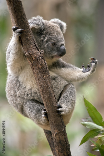 Fototapeta premium joey koala