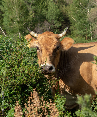 Photo  Bulls and cows in nature