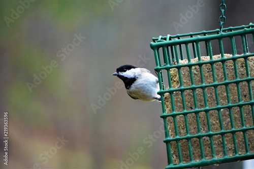 A single ,cute , tiny black capped chickadee (Poecile atricapillus) perching on suet feeder enjoy eating and watching on the garden background, Winter in GA USA Wallpaper Mural