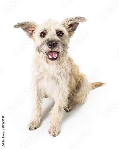 Leinwand Poster Happy Young Terrier Dog on White