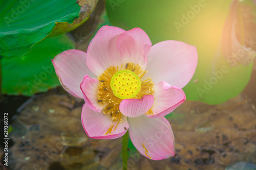 Staande foto Lotusbloem beautiful pink lotus flower in blooming at sunset