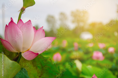 Staande foto Lotusbloem beautiful pink lotus flower in blooming at sunset