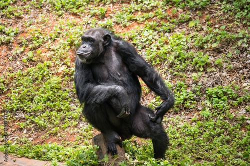 chimpanzee mokey sit on stump tree with grass in jungle Tablou Canvas