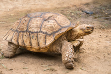 Galapagos Tortoise In Motion Be An Animal Living In The Galapagos Islands.