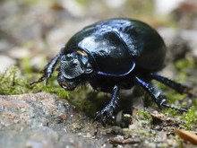 Dor Beetle (Geotrupes Stercora...