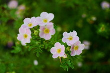 Light Pink Cinquefoil Flowers