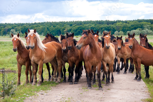Free running wild horses on a meadow. Country midlands landscape with group of animals.