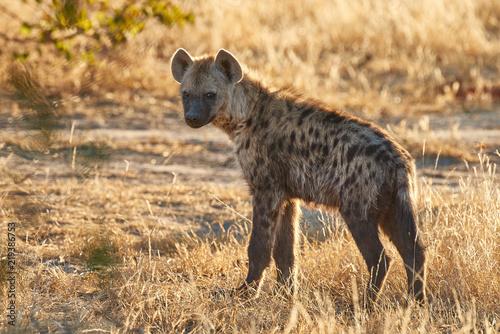 Foto op Aluminium Hyena Joven hiena en Botsuana