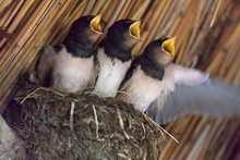 Three Young Swallows In The Nest, Open Beaks (Hirundinidae)