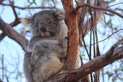 Deurstickers Australië koala on gum tree in Gippsland Lakes