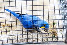 Bright Blue Hyacinth Macaw In ...