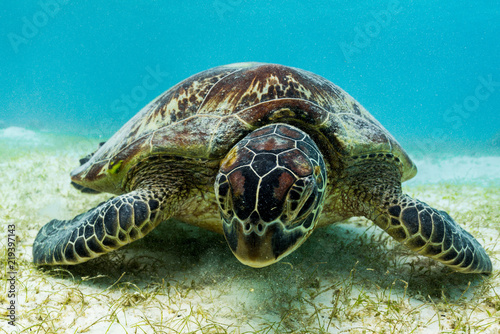Hawksbill sea turtle feeding on sea weed grass in shallow water