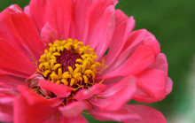 A Pink And Yellow Zinnia Against A Green Blurred Out Grass Background