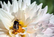 A Large Bumblebee Sits On A Chrysanthemum Flower With Petals And A Yellow Core, An Insect In The Sunlight, A Summer Day, A Close-up,