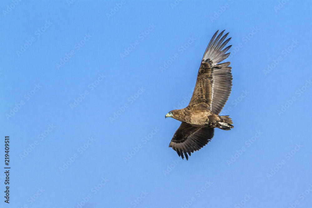 Bateleur Eagle in Kruger National park, South Africa ; Specie Terathopius ecaudatus family of Accipitridae