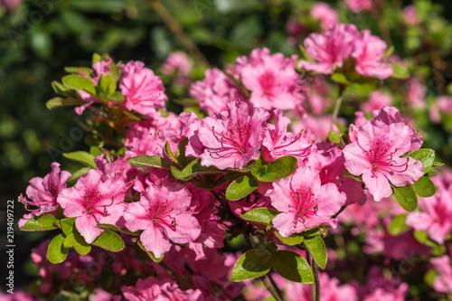 Tuinposter Azalea Rhododendron klein rosa pink