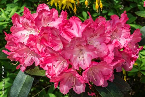 In de dag Candy roze Rhododendron pink weiß