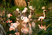 Group Of Chilean Flamingos In A Pond At Sunset Surronded By Green Nature
