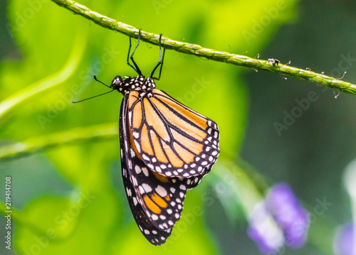 Fotografie, Obraz  Danaus plexippus butterfly resting upside down on a green  stem with green veget