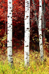 Fototapeta Krajobraz Birch Aspen Trees in Mountains Lush Landscape in Fall Autumn