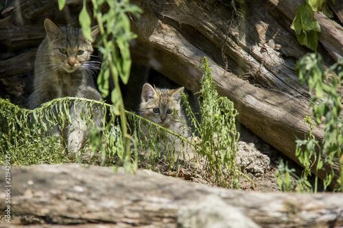 Photo  Wildcat with kitten.
