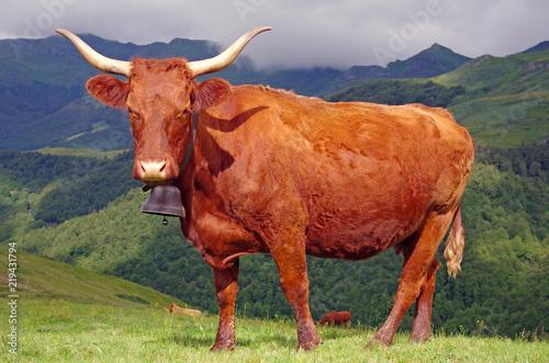Poster de jardin Vache Vache de race salers en estive dans les monts du Cantal en Auvergne.