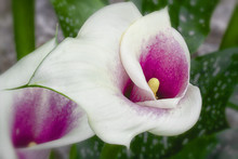 White And Purple Calla Lily Ma...