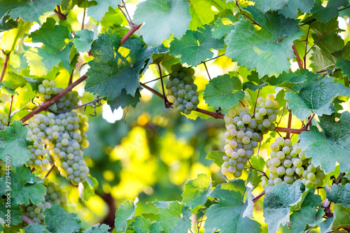 ripe wine grapes in a vineyard