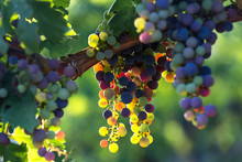 Colorful Wine Grapes In A Vineyard