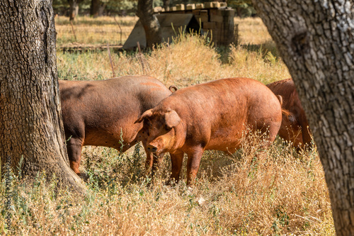 Foto  Pig by the fields of Salamanca, Spain, under the summer sun.