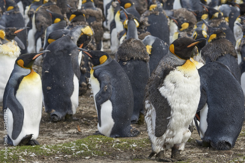 Group of King Penguins (Aptenodytes patagonicus) moulting on grassland at Volunteer Point in the Falkland Islands.