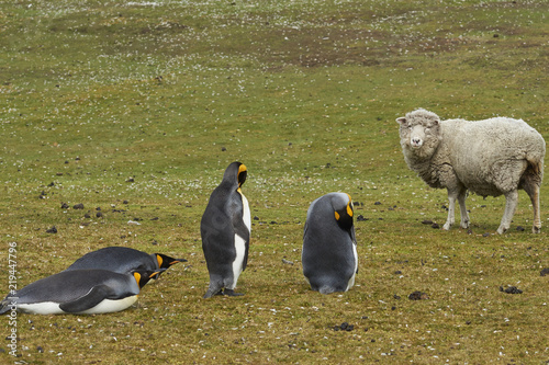 King Penguins (Aptenodytes patagonicus) on a sheep farm at Volunteer Point in the Falkland Islands.