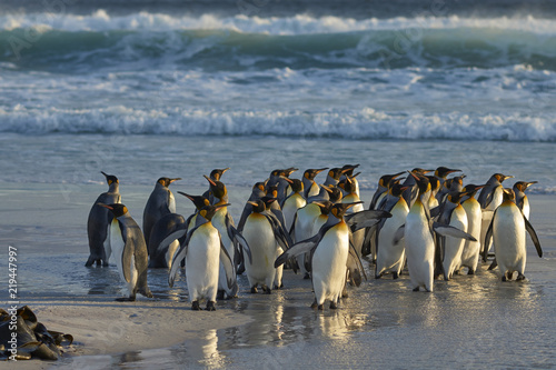 King Penguins (Aptenodytes patagonicus) on a sandy beach at Volunteer Point in the Falkland Islands.
