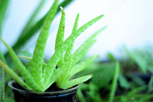 Close up Fresh aloe vera leaves , tropical green plants Canvas Print