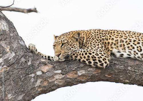 Tuinposter Luipaard Female leopard in a tree