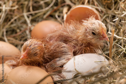 Fotografie, Obraz  Newly hatched baby chicken drying in the nest