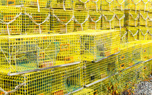 Rows Of Bright Yellow Lobster ...
