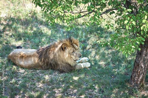 Fotobehang Leeuw Lion in a zoo