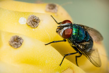 A Common Green Bottle Fly Sitt...