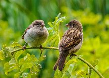 Two Sparrows Sit On A Branch A...