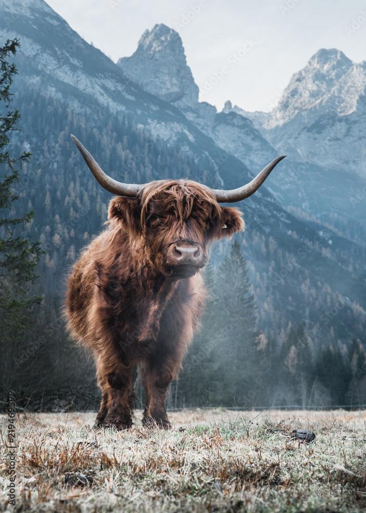 Fototapeta Single Bautiful Highland Cattle standing alone on a frozen Meadow in front of Huge Peaks in the Italian Dolomites