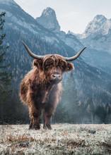 Single Bautiful Highland Cattle Standing Alone On A Frozen Meadow In Front Of Huge Peaks In The Italian Dolomites