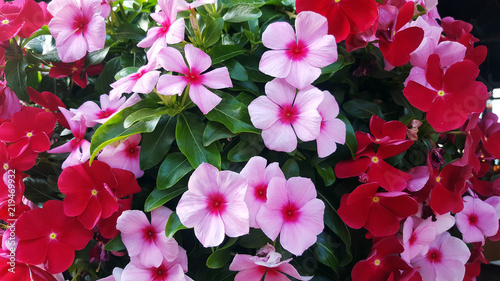 Photo Background of beautiful  Madagascar periwinkle flower