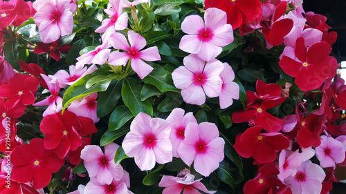 Fototapeta Background of beautiful  Madagascar periwinkle flower