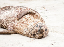 A Harbor Seal (Phoca Vitulina) Lounging At Casa Beach, Also Known As The Children's Pool, In La Jolla California