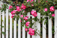 Wild Pink Roses Growing On A W...