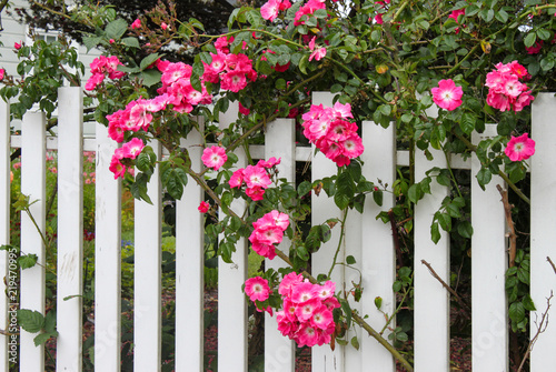 Wild pink roses growing on a white picket fence with flower garden wild pink roses growing on a white picket fence with flower garden showing through mightylinksfo
