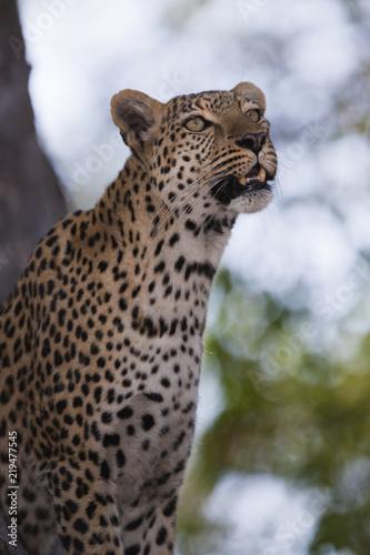 Tuinposter Luipaard leopard