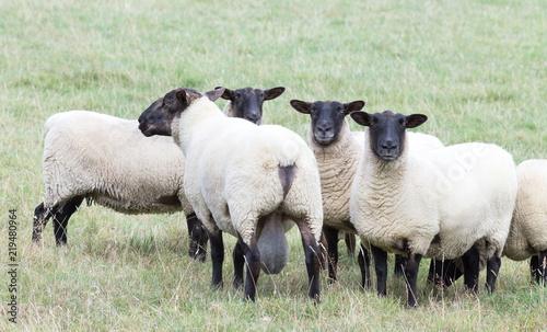 Photo Close up image of New Zealand Suffolk Sheep
